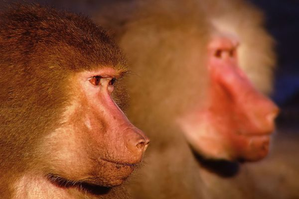 apes-aangepast8F65710D-09B9-8C65-844E-CDAFA85E08EB.jpg